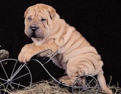 shar pei height=